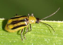 Західний жук