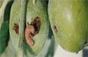 Плодожерка