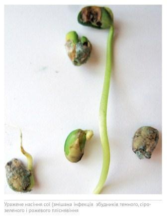Пліснявіння насіння