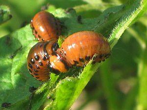 Личинки колорадського жука