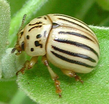 Колорадський жук