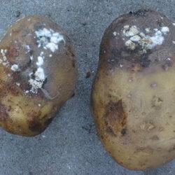 Фузаріоз картоплі