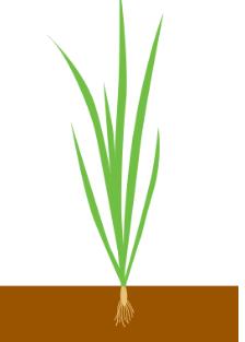 Ріст і розвиток листків
