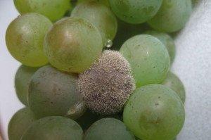 Сіра гниль винограду