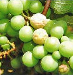 Біла гниль винограду