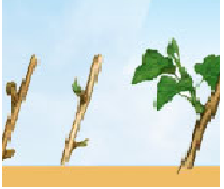 Початок вегетації - пагони 10-15 см