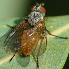 Малинова стеблова муха