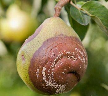 Моніліоз груші