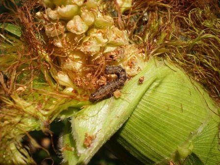 Кукурудзяний стебловий метелик