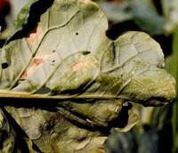 Пероноспороз капусти