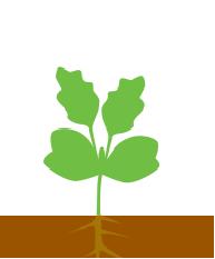 Розвиток листків