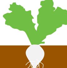 Рост корнеплодов