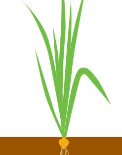 Формирование луковицы