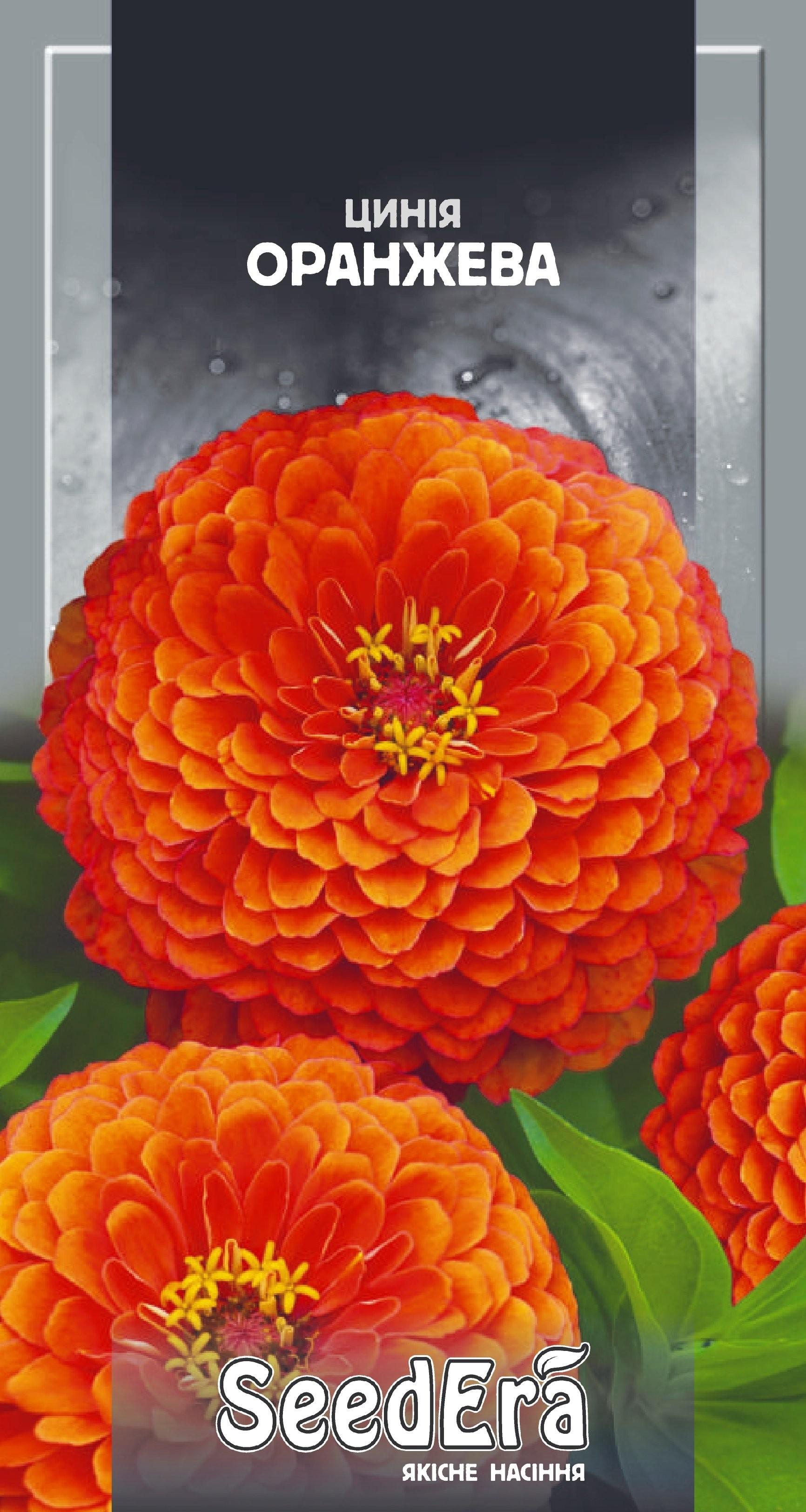 Цинния элегантная оранжевая