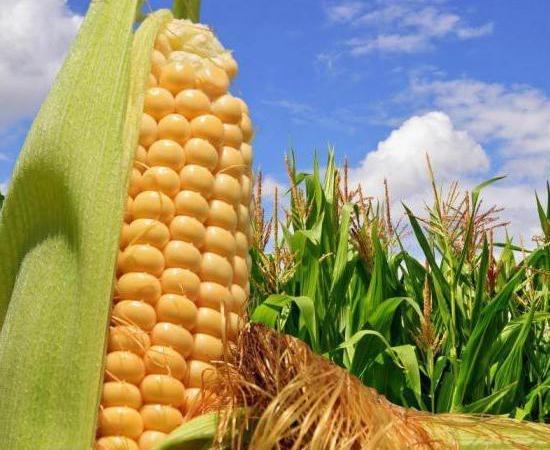 Основні вимоги до вирощування кукурудзи