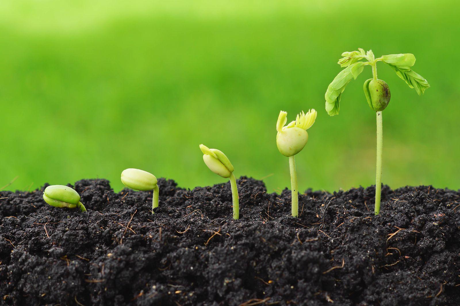 Стимулятори росту пшениці