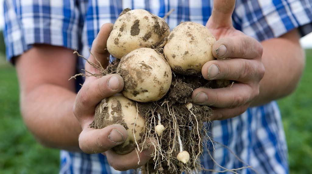 Як правильно проростити бульби картоплі