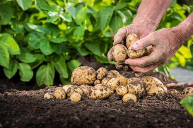 Догляд за картоплею в червні