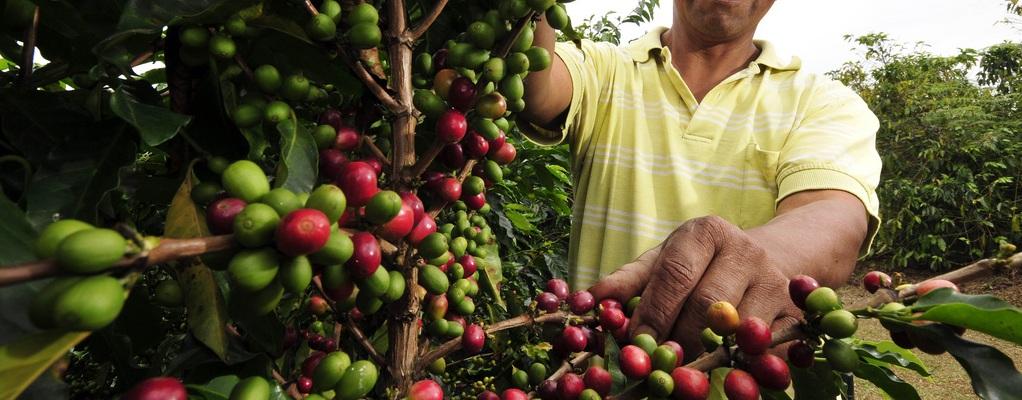 Як вирощувати арабську каву? Вирощування, пересадка і догляд